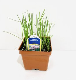 """Chives 4"""""""