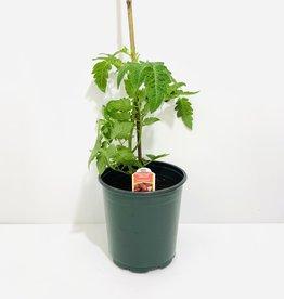 San Marzano Tomato 1gal