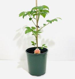 Napa Grape Tomato 1gal