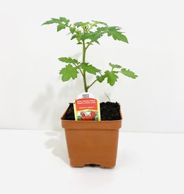 "Mighty Sweet Tomato 4"""