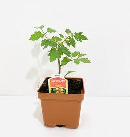 """Sungold Tomato 4"""""""