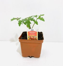 "Old German Tomato 4"""