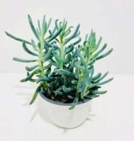 """Blue Chalk Succulent 6"""""""