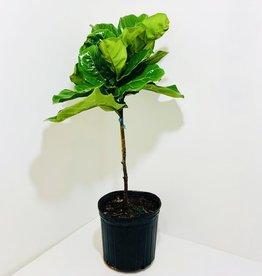 """Fiddle Leaf Fig Standard 10"""""""