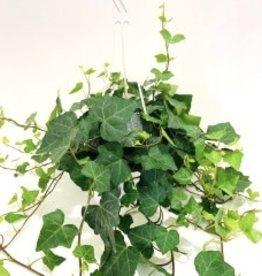"""English Ivy Hanging Basket 7"""""""