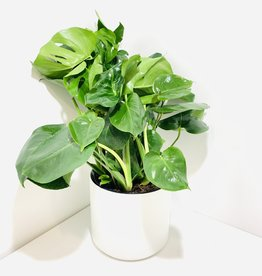 "10"" Philodendron Monstera in White Kendall Pot"