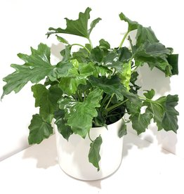 """10"""" Hope Philodendron in Kendall Pot"""