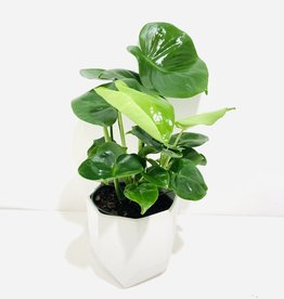 "6"" Philodendron Monstera in Lund Pot"