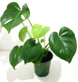 """Monstera Philodendron 6"""""""
