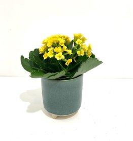 "3"" Kalanchoe in Green Ceramic Pot"
