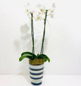 Double Stem White Orchid in Blue & White Ceramic Pot