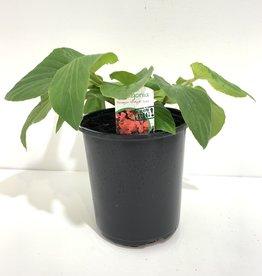 Dragon Wing Red Begonia 1gal