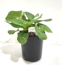 Megawatt Rose Begonia 1gal