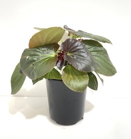 Rose with Bronze Leaf Whopper Begonia 1gal