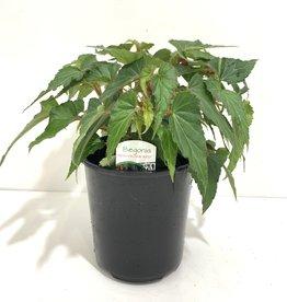 Beauvilia Red Begonia 1gal