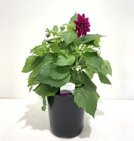 Purple Dahlia 1gal