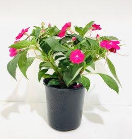Pink New Guinea Impatiens 1gal