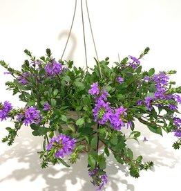 """Purple Fan Flower Hanging Basket 10"""""""