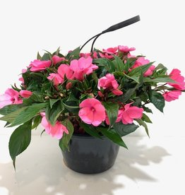 Pink New Guinea Impatiens Hanging Basket 10""