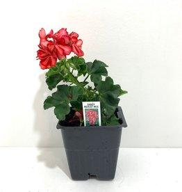 "Ivy Geranium Merlot 4"""