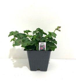 """Ivy Geranium Amethyst 4"""""""