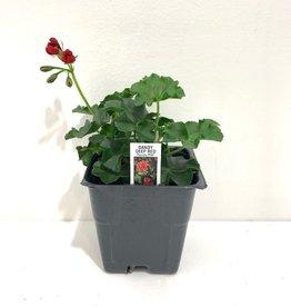 """Ivy Geranium Red 4"""""""