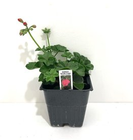 "Ivy Geranium Pink 4"""
