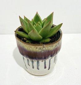 """2"""" Green Succulent in Ceramic Pot"""