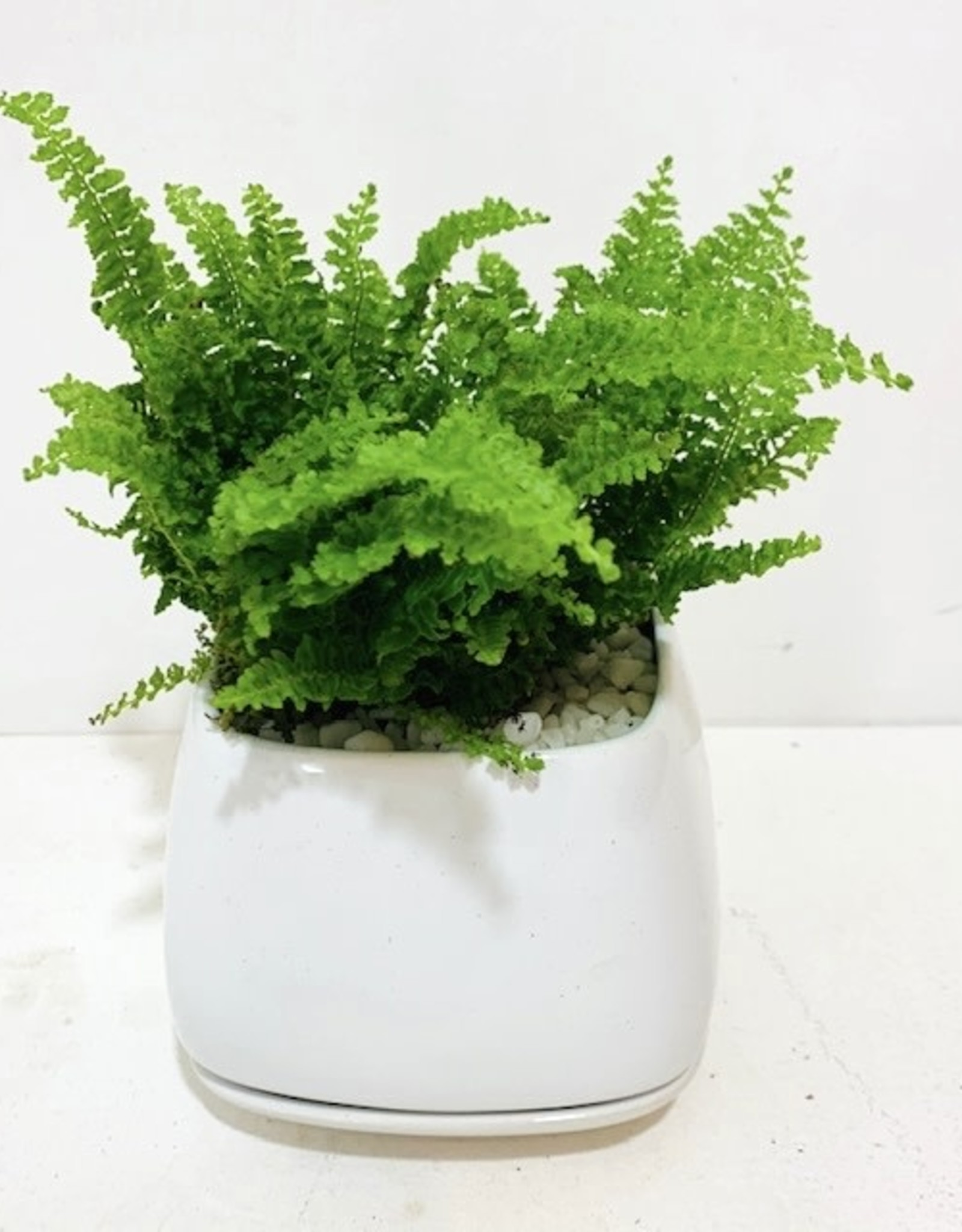 "4"" Fern in White Ceramic Pot with Saucer"