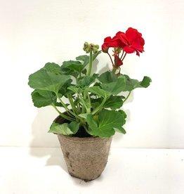 """Geranium Red 4"""""""
