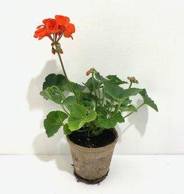"""Geranium Orange 4"""""""