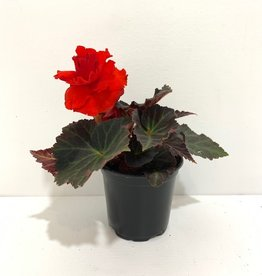 Begonia Non-Stop Mocca Orange 4.5""