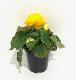 Yellow Nonstop Begonia 4""