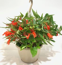 Hanging Basket Begonia Bossa Nova Orange 11""