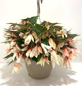 """Hanging Basket Begonia Bossa Nova White 11"""""""