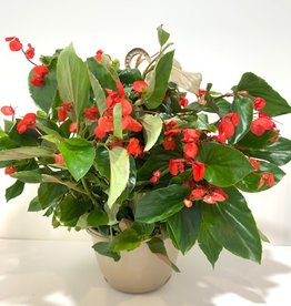 Red Dragon Wing Begonia Hanging Basket 11""