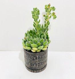 "6"" Fuzzy Green Succulent in Cusco Pot"