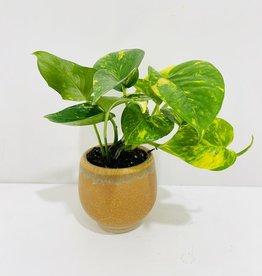 "4"" Pothos in Yellow Pot"