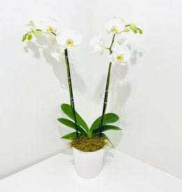 White Double Stem Orchid in White Stockholm Pot