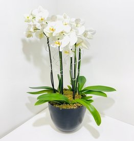 White Orchid Arrangement in Black Metal Container