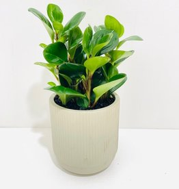 Green Leaf Peperomia in Taupe Container