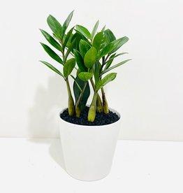 """6"""" ZZ Plant in White Stockholm Pot"""