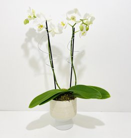 Double Stem Orchid in Umbra Footed Pot