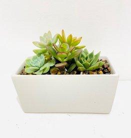"""Succulent Arrangement in 3 x 6"""" White Container"""