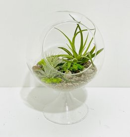 """Air Plant Arrangement in 6"""" Footed Glass Vessel"""
