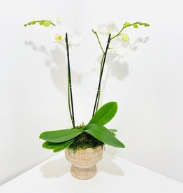 Double Stem Orchid in Beige Footed Pot