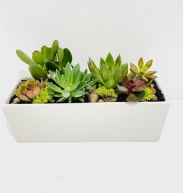 """Succulent Arrangement in White 3 x 11"""" Container"""
