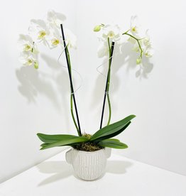 Double Stem Orchid in Off-White Pot with Handles