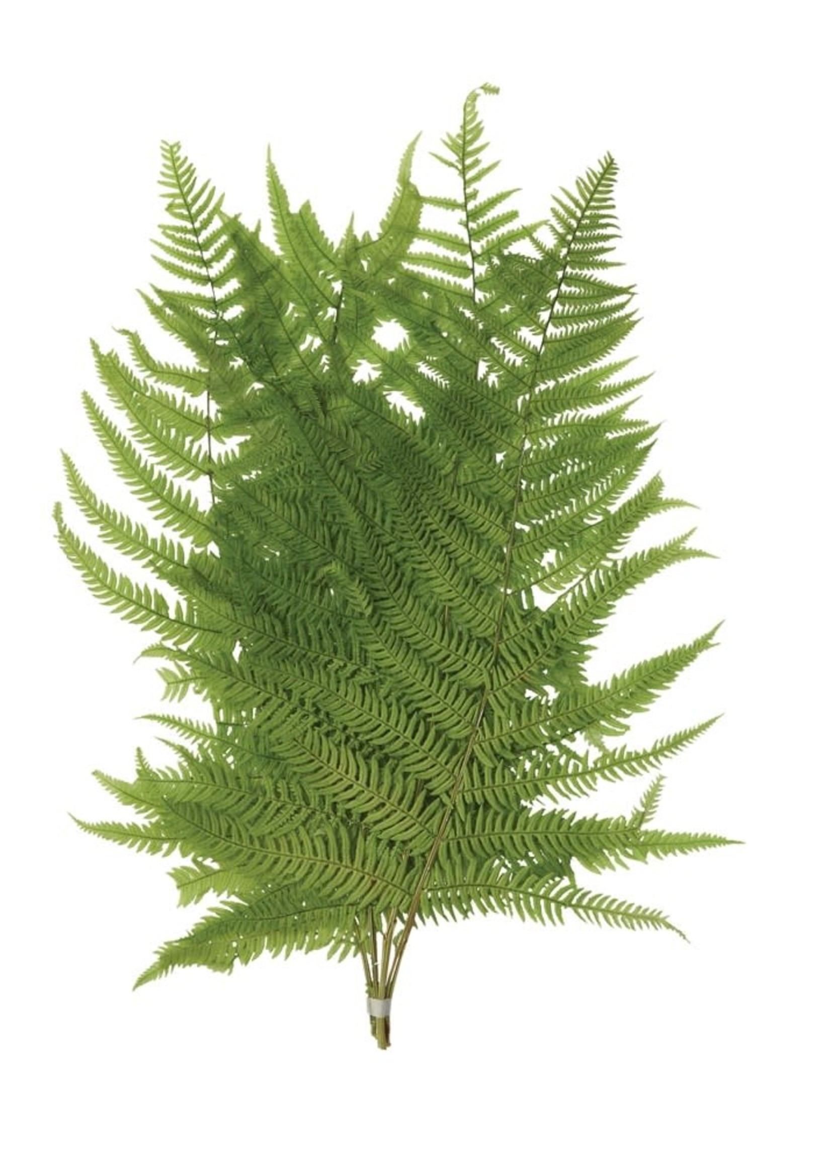 """16""""H Dried Natural Fern Leaf in Bag, Green (Contains 5 Pieces)"""