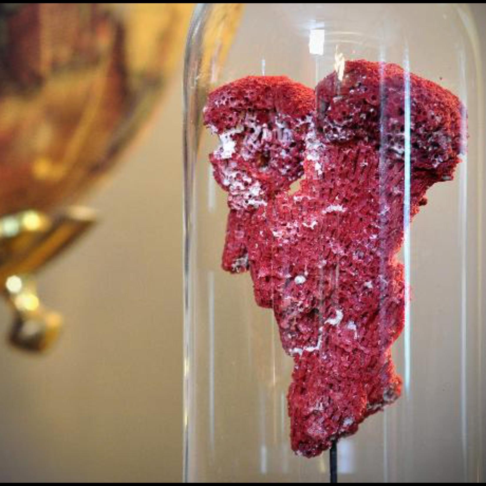 OBJET DE CURIOSITE RED TUBIPORA UNDER GLASS